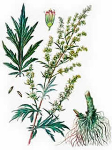 artemisia vulgaris 225x300 Herbal extract products Tentorium