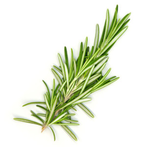 rosemary 300x300 Herbal extract products Tentorium