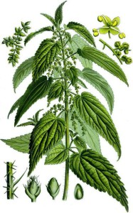 urtica dioica 187x300 Herbal extract products Tentorium