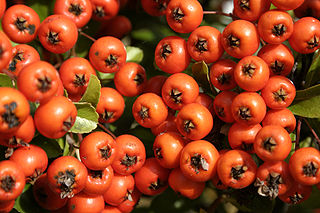 320px Sorbus aucuparia 01   Orange Sorbus